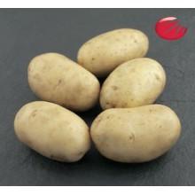 Картофель семенной Пантер