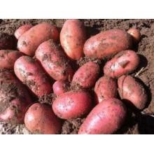 Картофель семенной Ред Леди