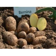 Картофель семенной Бернина