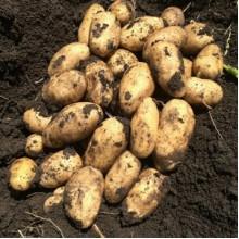 Картофель семенной Импала