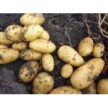Картофель семенной Примадонна
