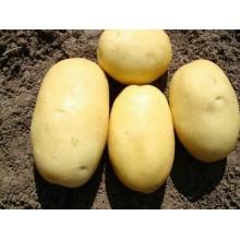 Картофель семенной Вега