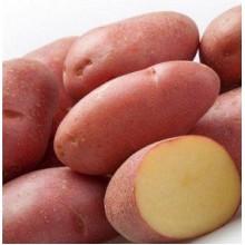 Картофель семенной Манифест