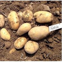 Картофель семенной Фиделия