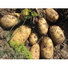Картофель семенной Чароит
