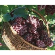 Виноград (0)