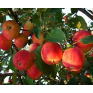 Яблони (0)