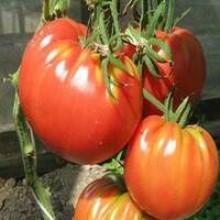 Редкие сорта томатов Приамурский крупноплодный