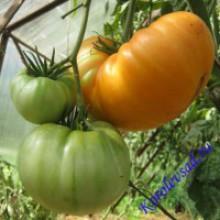 Редкие сорта томатов Застенчивая Невеста