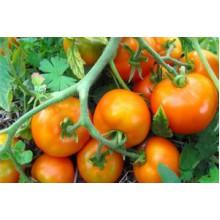 Редкие сорта томатов Утя