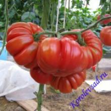 Редкие сорта томатов Японский Краб