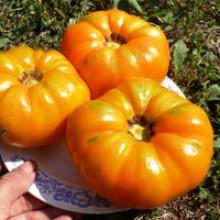Редкие сорта томатов КВХ