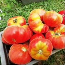 Редкие сорта томатов Абрикос