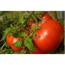Редкие сорта томатов Бифштекс