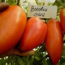 Редкие сорта томатов Воловье Ухо