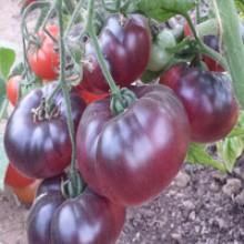 Редкие сорта томатов Голубая Прелесть