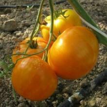 Редкие сорта томатов Жемчужина Джанет