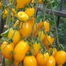 Редкие сорта томатов Золотая Канарейка