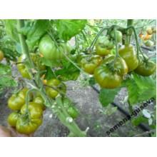 Редкие сорта томатов Киви