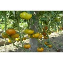 Редкие сорта томатов Малахитовая Шкатулка
