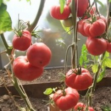 Редкие сорта томатов Минусинский Яблочный