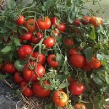 Редкие сорта томатов Монгольский Карлик