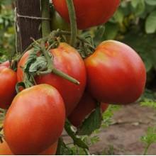 Редкие сорта томатов Севрюга