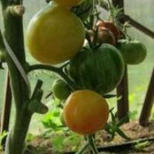 Редкие сорта томатов Светлый кабан