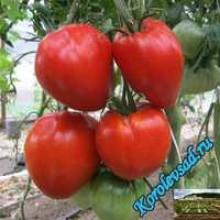 Редкие сорта томатов Сердце кенгуру