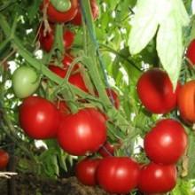 Редкие сорта томатов Сладкоежка