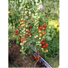 Редкие сорта томатов Спокуса