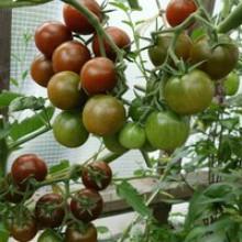 Редкие сорта томатов Спящая Леди