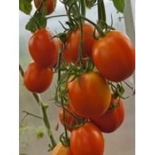 Редкие сорта томатов Царь Петр