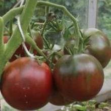 Редкие сорта томатов Цыган