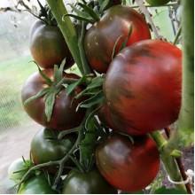Редкие сорта томатов Черноморец